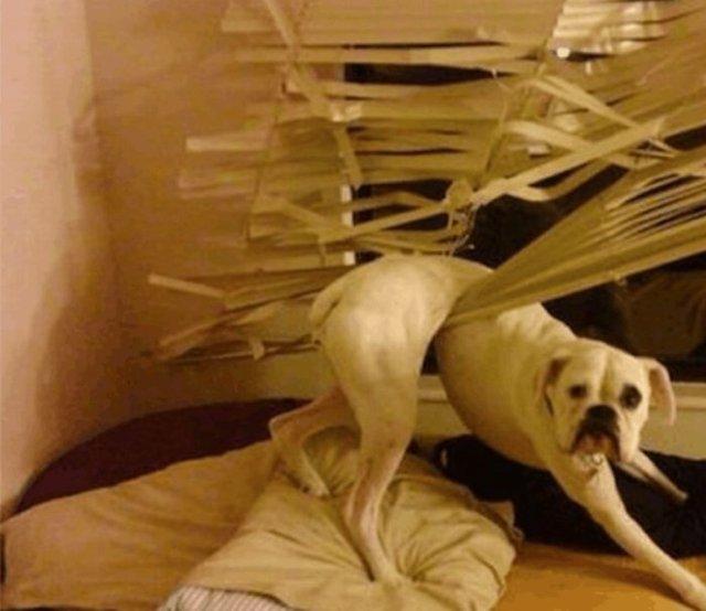Що роблять собаки, коли нікого нема вдома: епічні фото - фото 323552