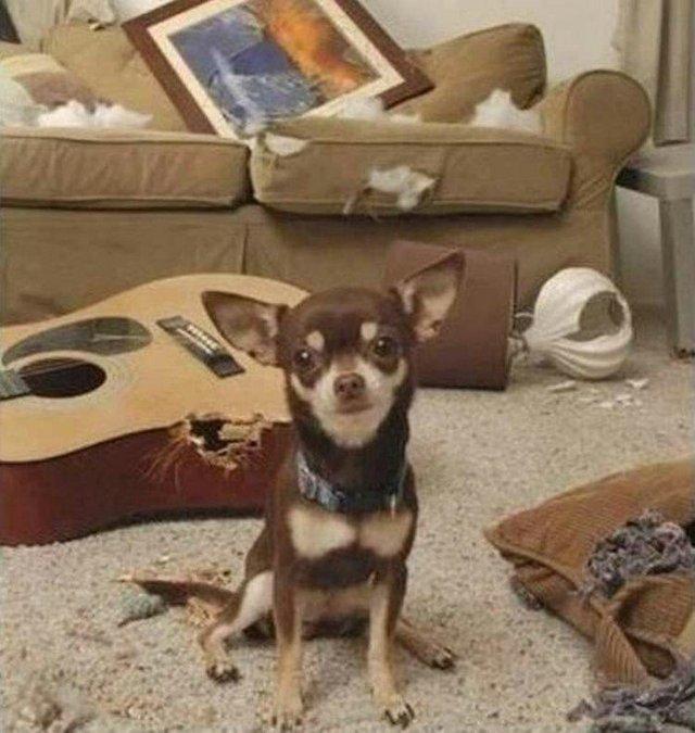 Що роблять собаки, коли нікого нема вдома: епічні фото - фото 323554
