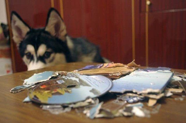 Що роблять собаки, коли нікого нема вдома: епічні фото - фото 323555