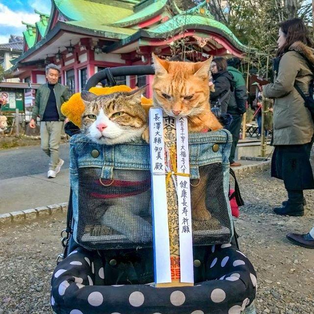 Японець подорожує країною з двома котами в рюкзаку - фото 324949