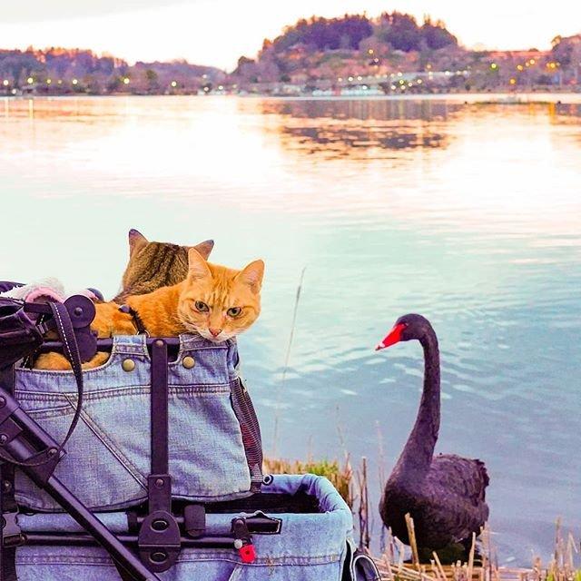 Японець подорожує країною з двома котами в рюкзаку - фото 324950