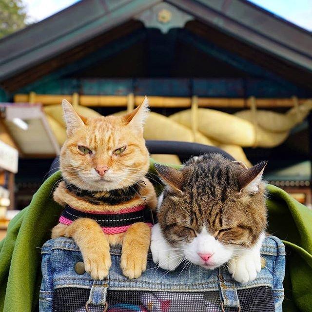 Японець подорожує країною з двома котами в рюкзаку - фото 324951