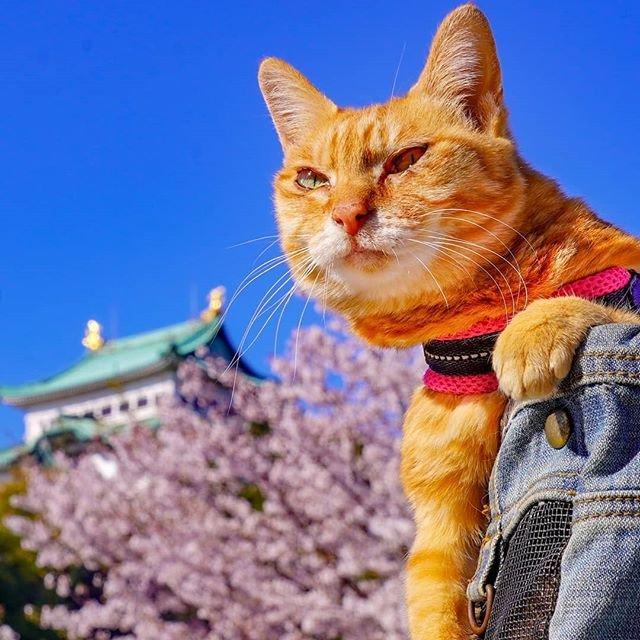 Японець подорожує країною з двома котами в рюкзаку - фото 324954