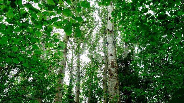 Весняне листя берези  - фото 326744