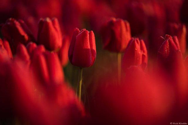 Неймовірні поля тюльпанів у Нідерландах: фото і відео - фото 327163