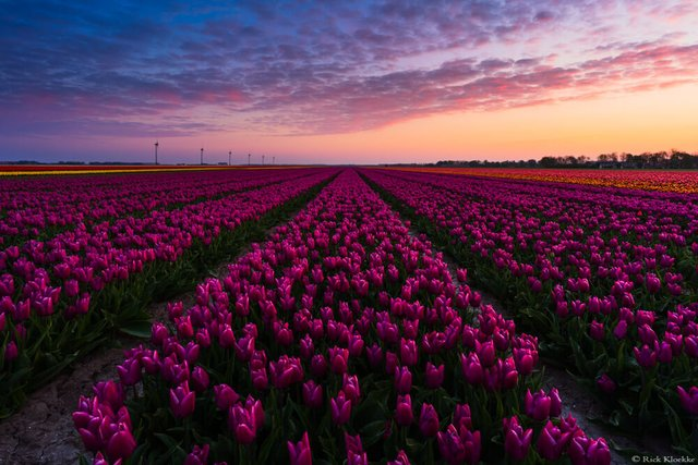 Неймовірні поля тюльпанів у Нідерландах: фото і відео - фото 327164