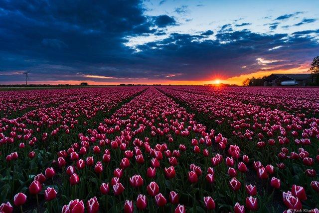 Неймовірні поля тюльпанів у Нідерландах: фото і відео - фото 327165