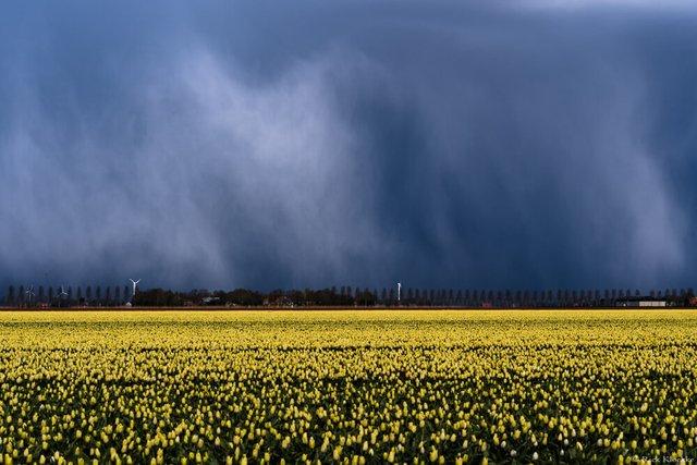 Неймовірні поля тюльпанів у Нідерландах: фото і відео - фото 327167