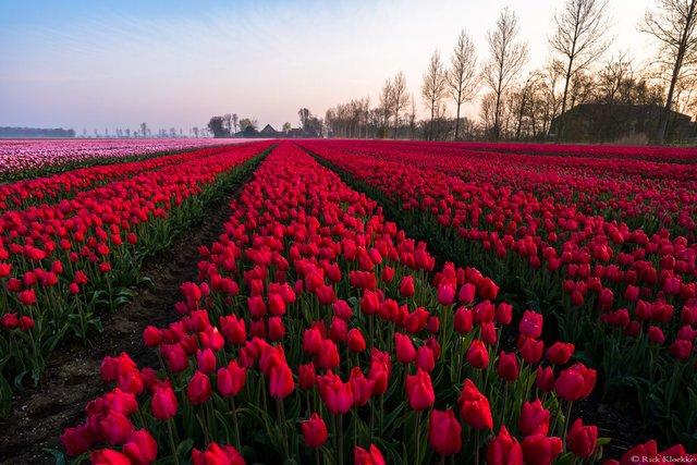 Неймовірні поля тюльпанів у Нідерландах: фото і відео - фото 327168