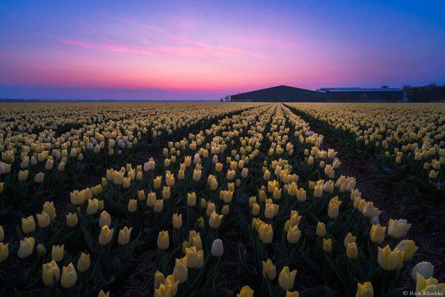 Неймовірні поля тюльпанів у Нідерландах: фото і відео - фото 327169