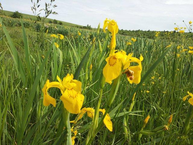 В Україні розквітла унікальна долина жовтих ірисів - фото 330506