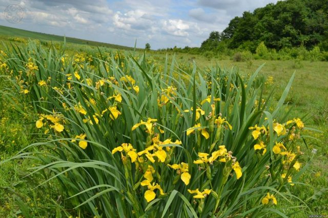 В Україні розквітла унікальна долина жовтих ірисів - фото 330507