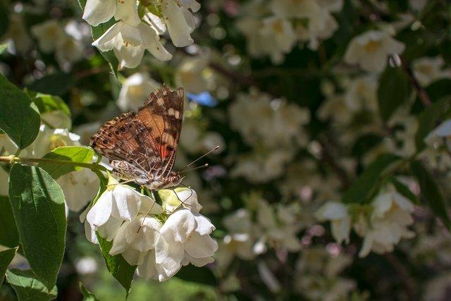 Метелики в Україні - фото 331785