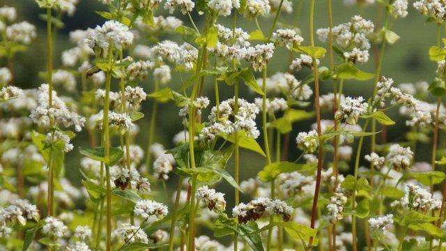 Врожай гречки  - фото 334493