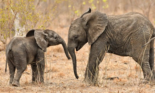 Зазвичай слони тримаються в колі своєї родини - фото 338900