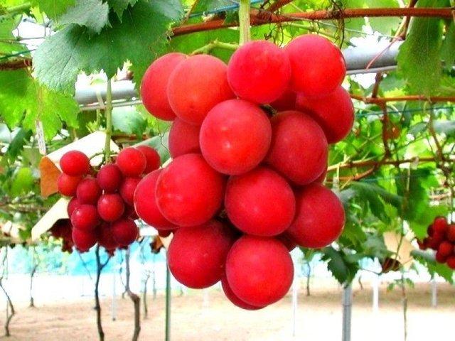 В Японії гроно винограду продали за 11 тисяч доларів - фото 339655