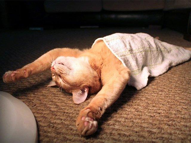 Кумедні коти, які сплять на спині: фото, які змусять усміхнутись - фото 342461
