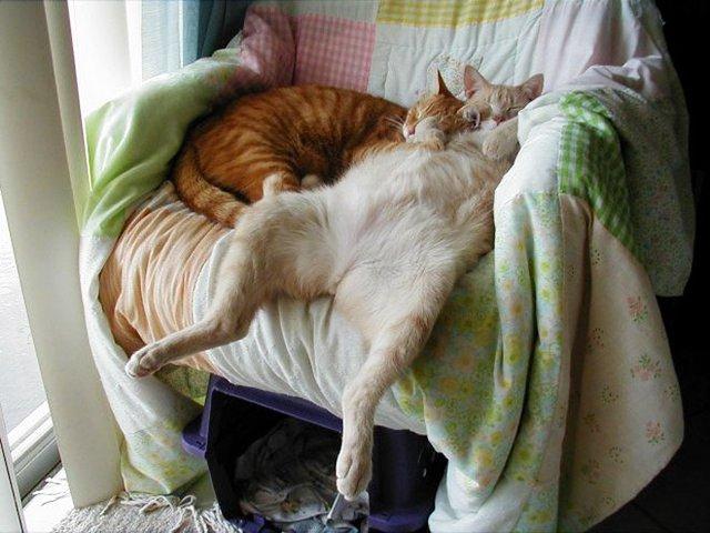Кумедні коти, які сплять на спині: фото, які змусять усміхнутись - фото 342475