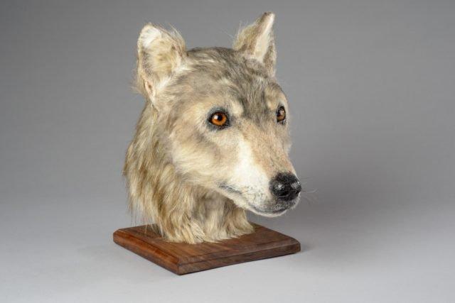 Учені відтворили вигляд пса, який жив 4000 років тому: фотофакт - фото 345225