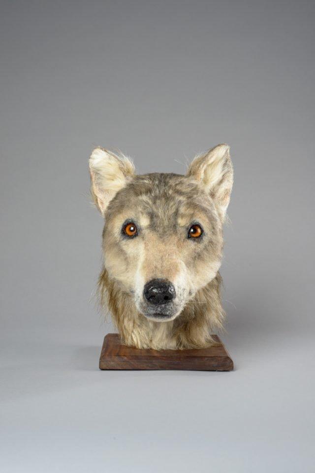 Учені відтворили вигляд пса, який жив 4000 років тому: фотофакт - фото 345226
