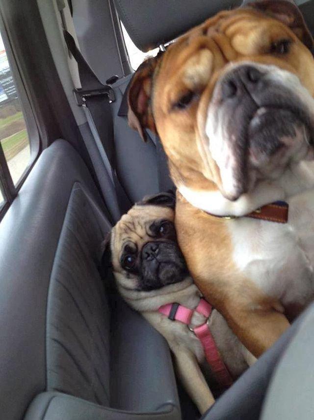 Ці собаки не знають, що таке особистий простір: кумедні фото - фото 348242