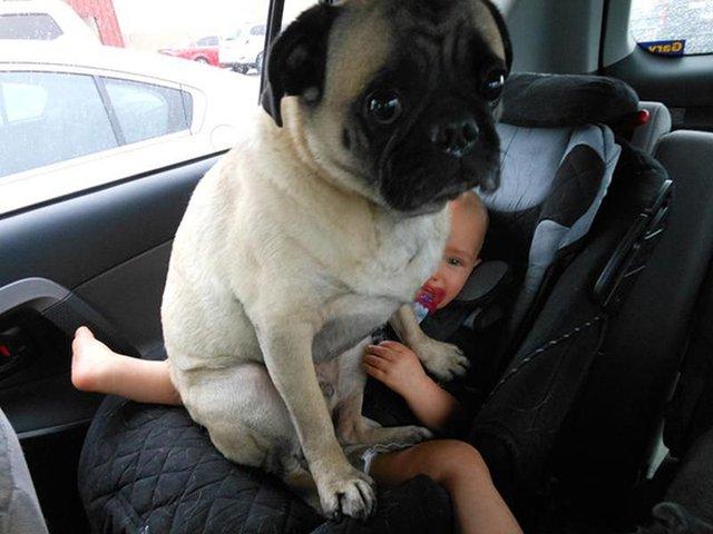 Ці собаки не знають, що таке особистий простір: кумедні фото - фото 348249
