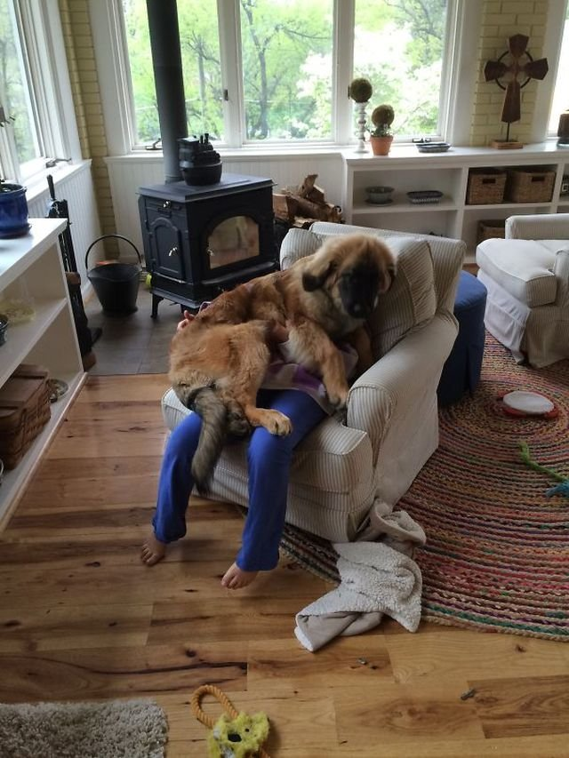 Ці собаки не знають, що таке особистий простір: кумедні фото - фото 348252