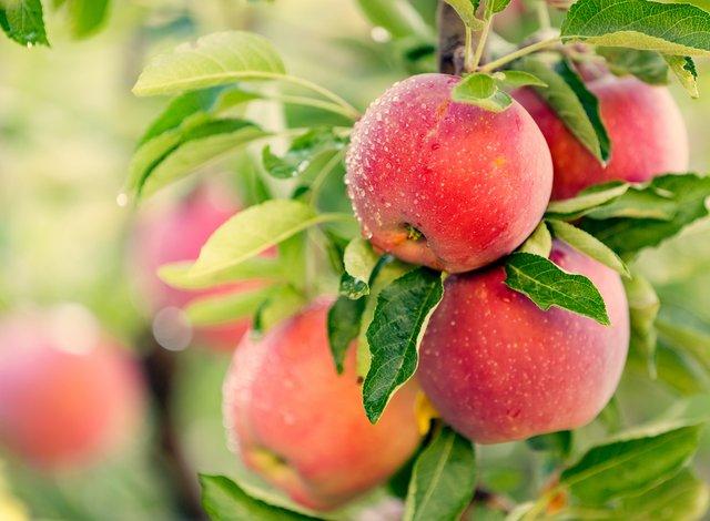 Користь яблук суттєво переоцінена - фото 349147