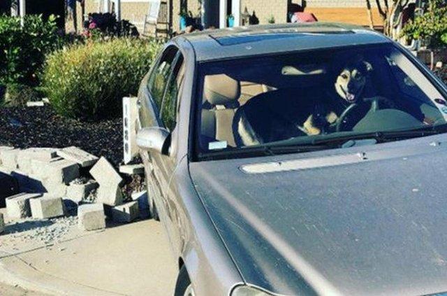 Собака, який викрав Mercedes-Benz, став зіркою мережі: фото - фото 352156
