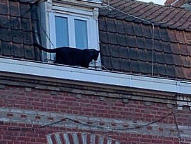 На даху житлового будинку помітили чорну пантеру: відео - фото 356263