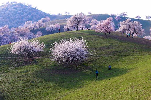 Яскраві пейзажі Китаю під час цвітіння абрикосів - фото 357781