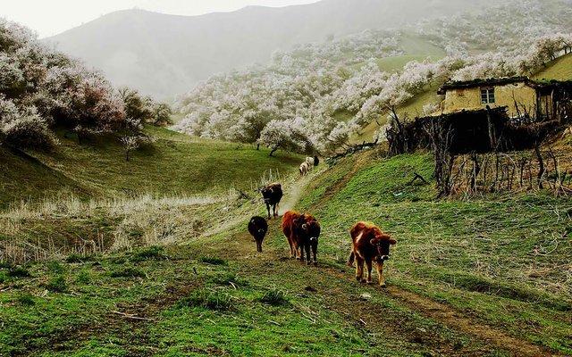 Яскраві пейзажі Китаю під час цвітіння абрикосів - фото 357782