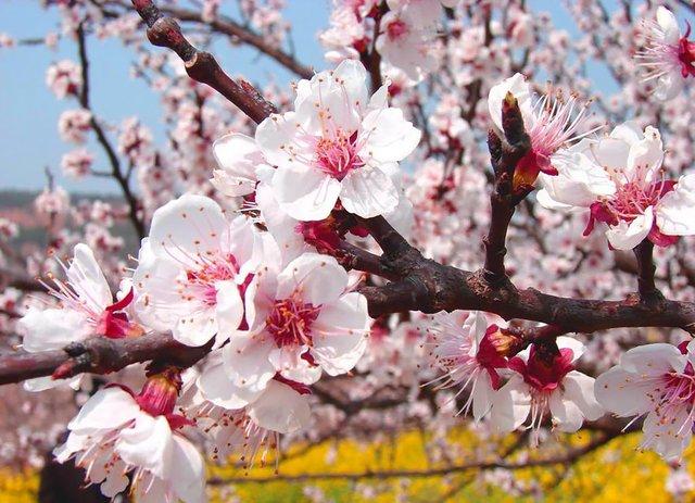 Яскраві пейзажі Китаю під час цвітіння абрикосів - фото 357783