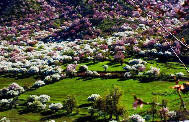 Яскраві пейзажі Китаю під час цвітіння абрикосів - фото 357784