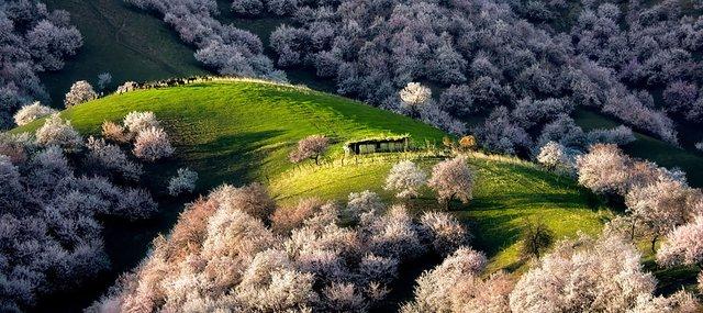 Яскраві пейзажі Китаю під час цвітіння абрикосів - фото 357785