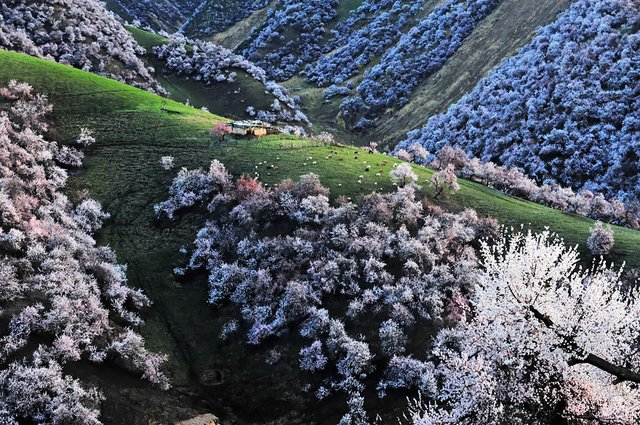 Яскраві пейзажі Китаю під час цвітіння абрикосів - фото 357786