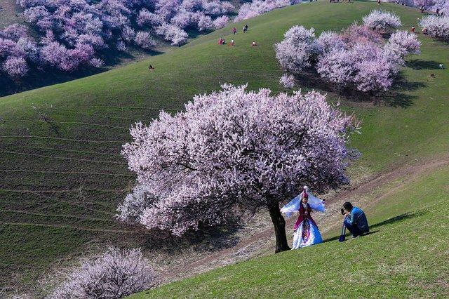 Яскраві пейзажі Китаю під час цвітіння абрикосів - фото 357787