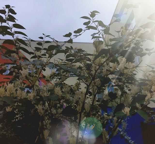 У Києві раптово зацвіли акації: теплі фото - фото 359164