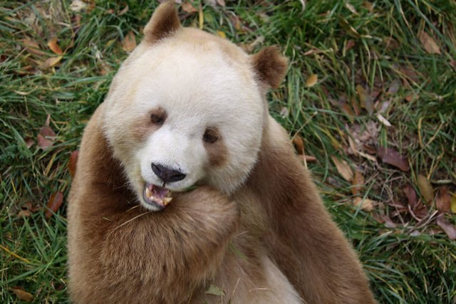 Так виглядає єдина у світі коричнева панда - фото 370221