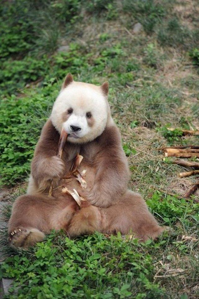 Так виглядає єдина у світі коричнева панда - фото 370223