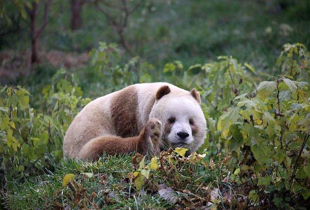 Так виглядає єдина у світі коричнева панда - фото 370224