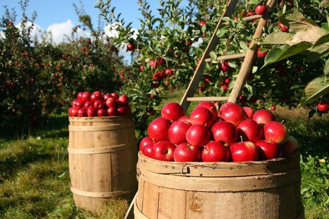 З 1 грудня у США почали продавати яблука, які рік не псуються - фото 371589