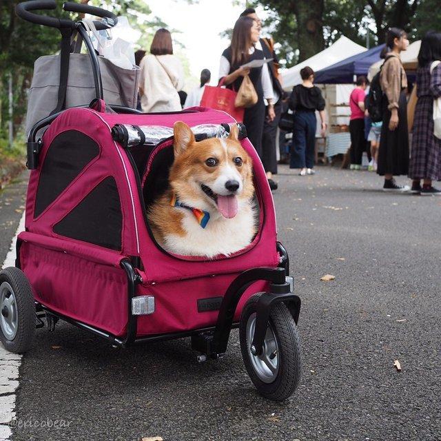 Цей пес коргі став зіркою мережі, змусивши посміхатися мільйони: кумедні фото - фото 372514