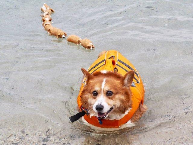 Цей пес коргі став зіркою мережі, змусивши посміхатися мільйони: кумедні фото - фото 372515