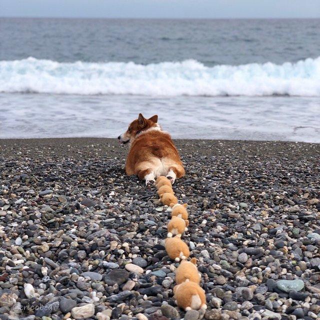 Цей пес коргі став зіркою мережі, змусивши посміхатися мільйони: кумедні фото - фото 372516