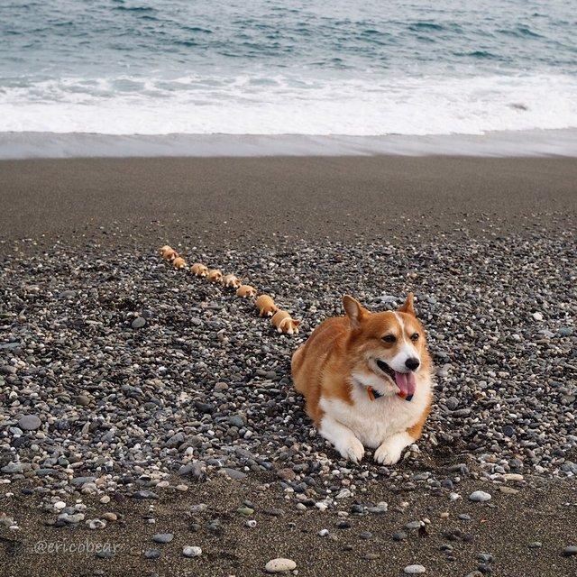 Цей пес коргі став зіркою мережі, змусивши посміхатися мільйони: кумедні фото - фото 372520