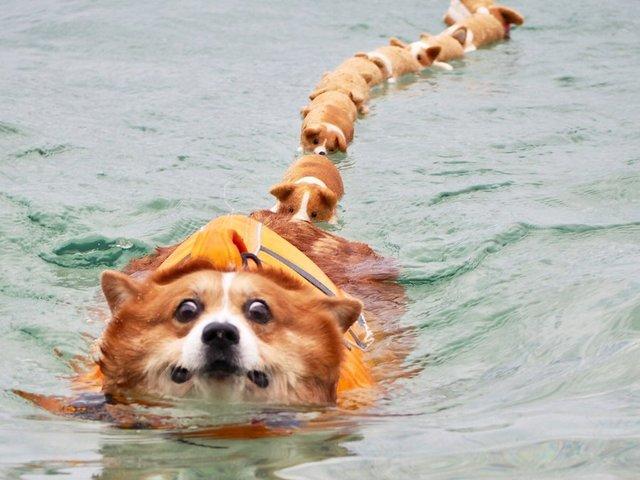 Цей пес коргі став зіркою мережі, змусивши посміхатися мільйони: кумедні фото - фото 372521
