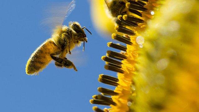 Бджола  - фото 372872