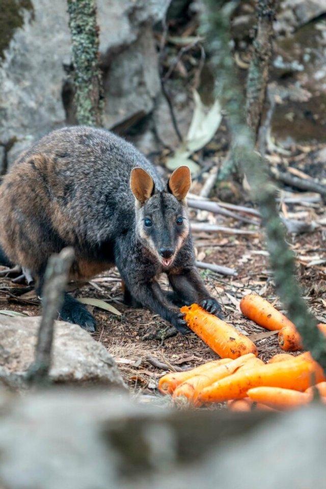 В Австралії з повітря скинули тонни моркви для тварин: фоторепортаж - фото 379293