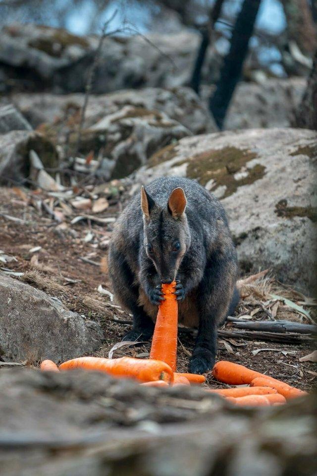 В Австралії з повітря скинули тонни моркви для тварин: фоторепортаж - фото 379297